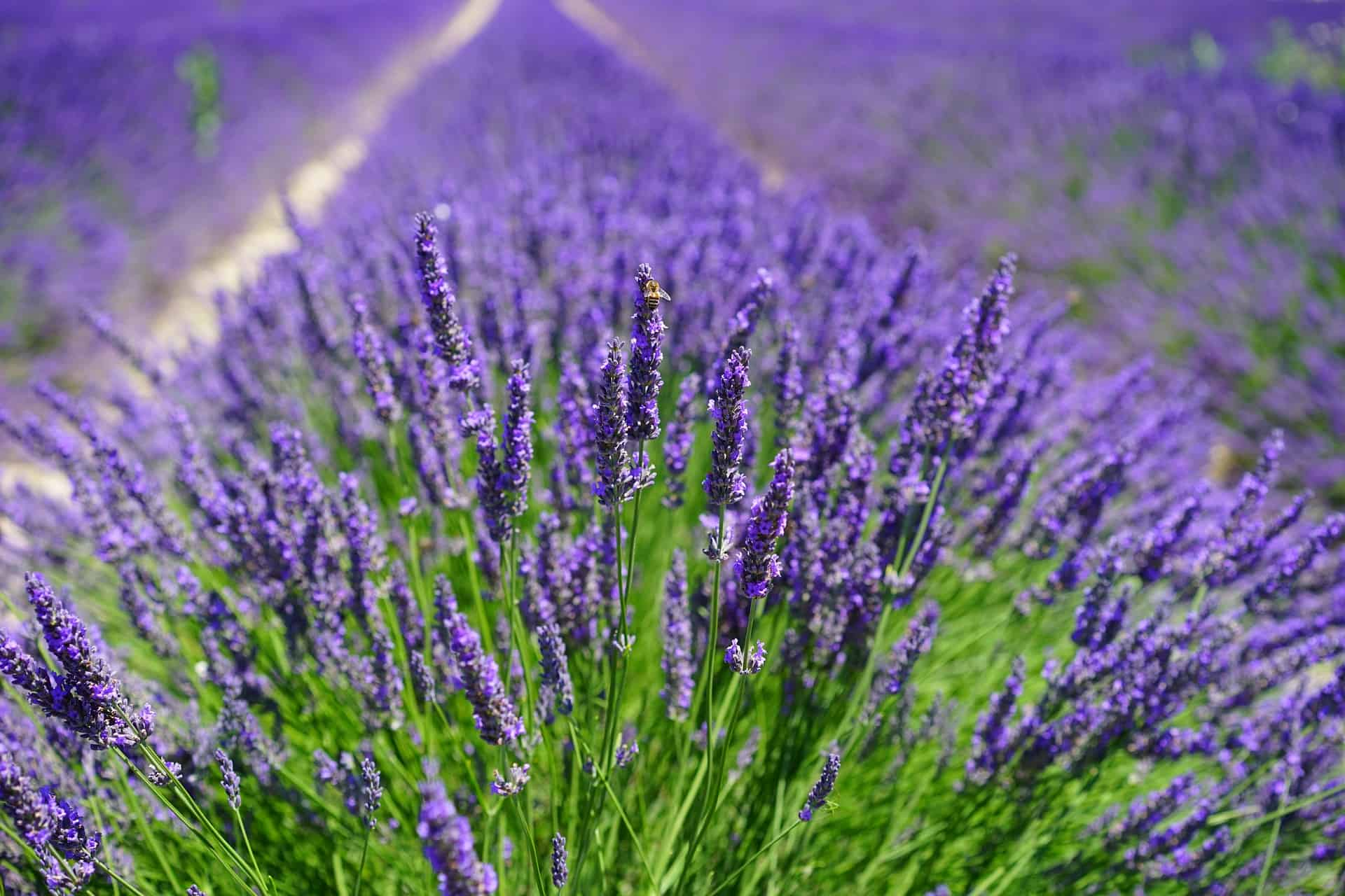 Linalool is found in Lavender